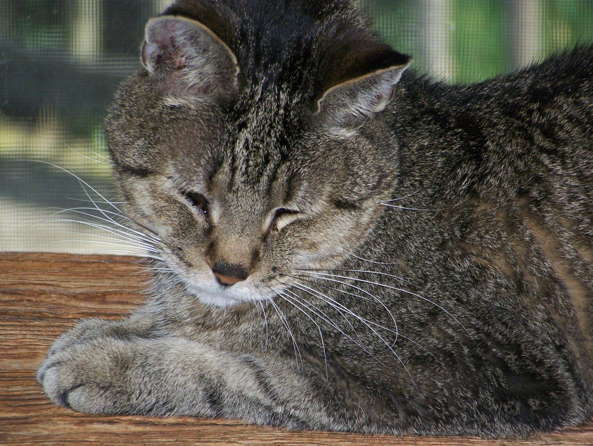 Feline Arthritis A Painful Condition That Can Contribute