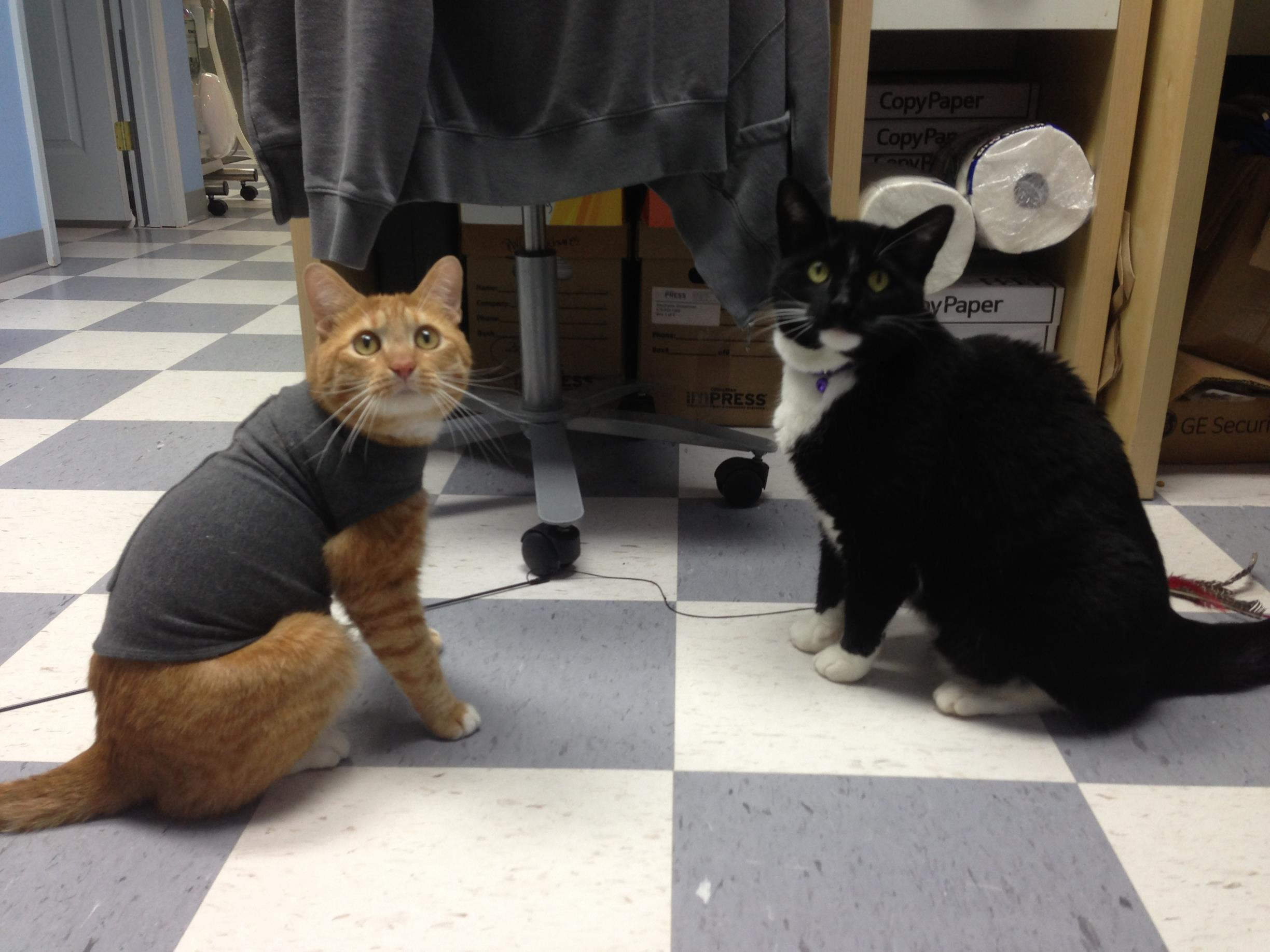 Thundershirt being used to humble the aggressive cat.