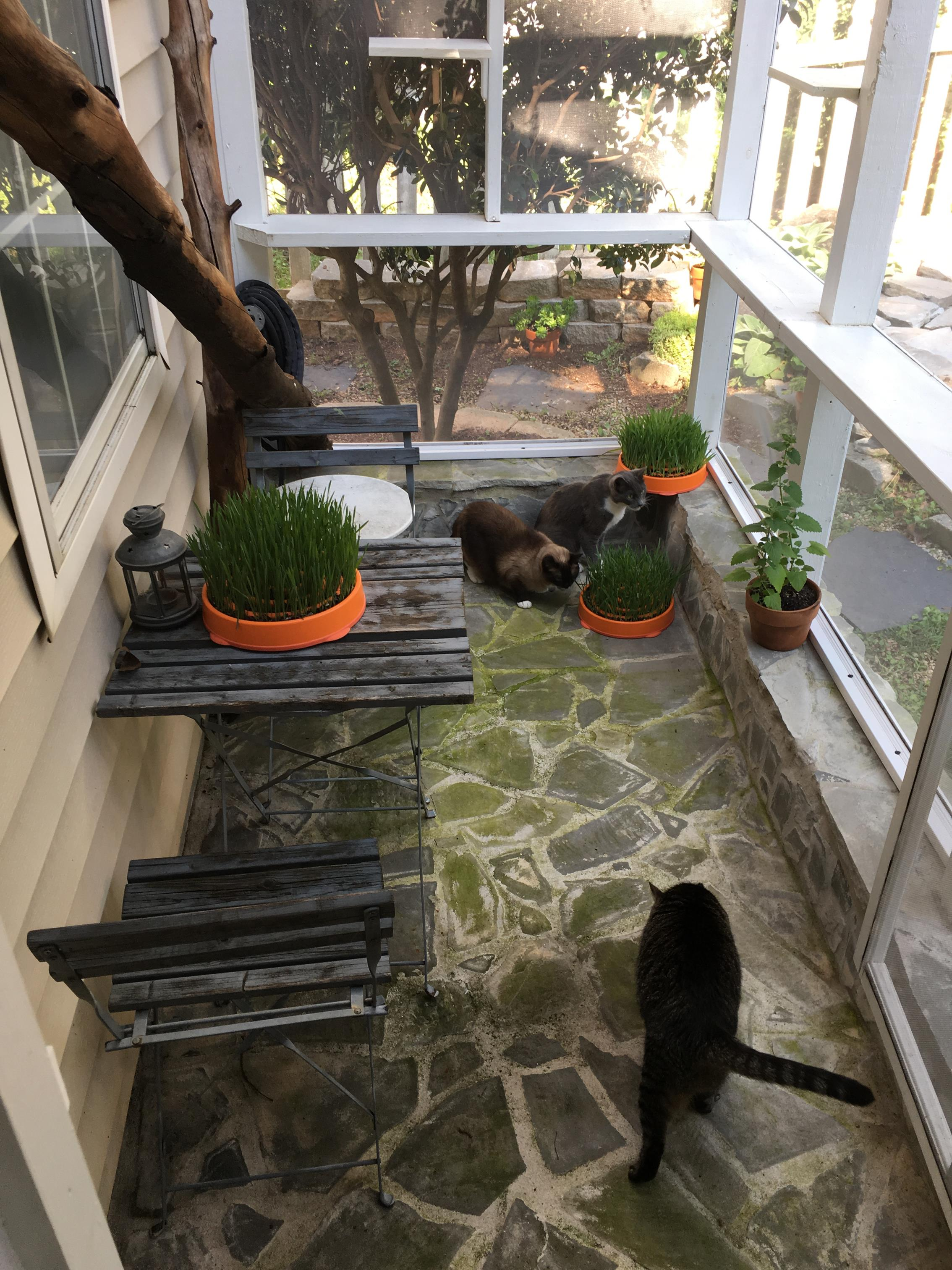 All kinds of feline friendly greens can be planted!
