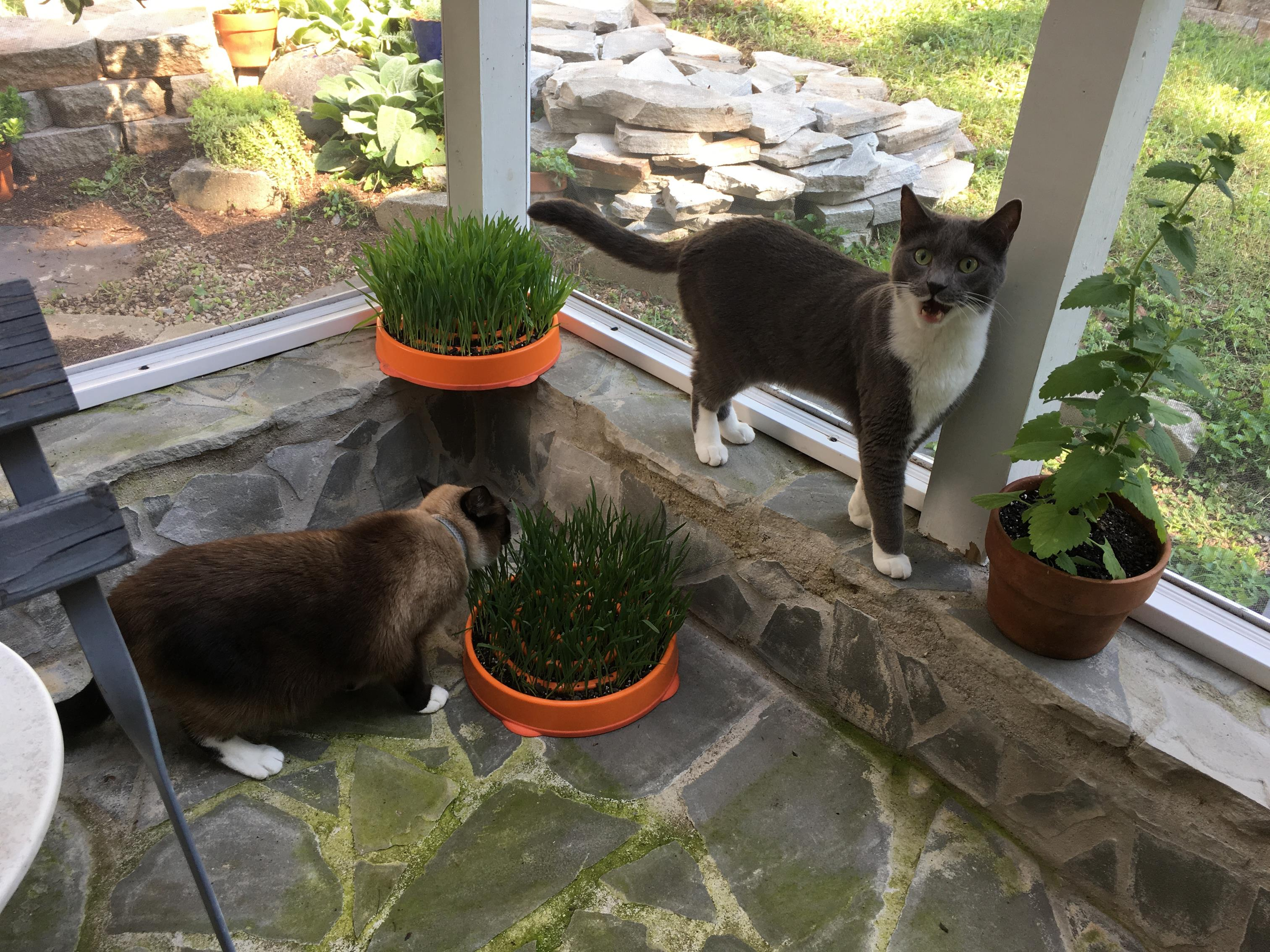 Here Willow and Soren are enjoying their cat grass planters.