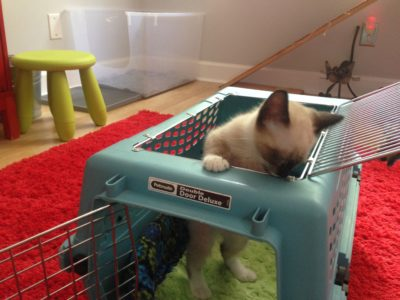 Willow exploring cat carrier.