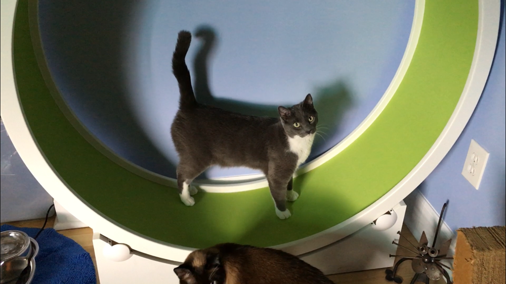 Soren is a firm believer that all cats should have a cat wheel!