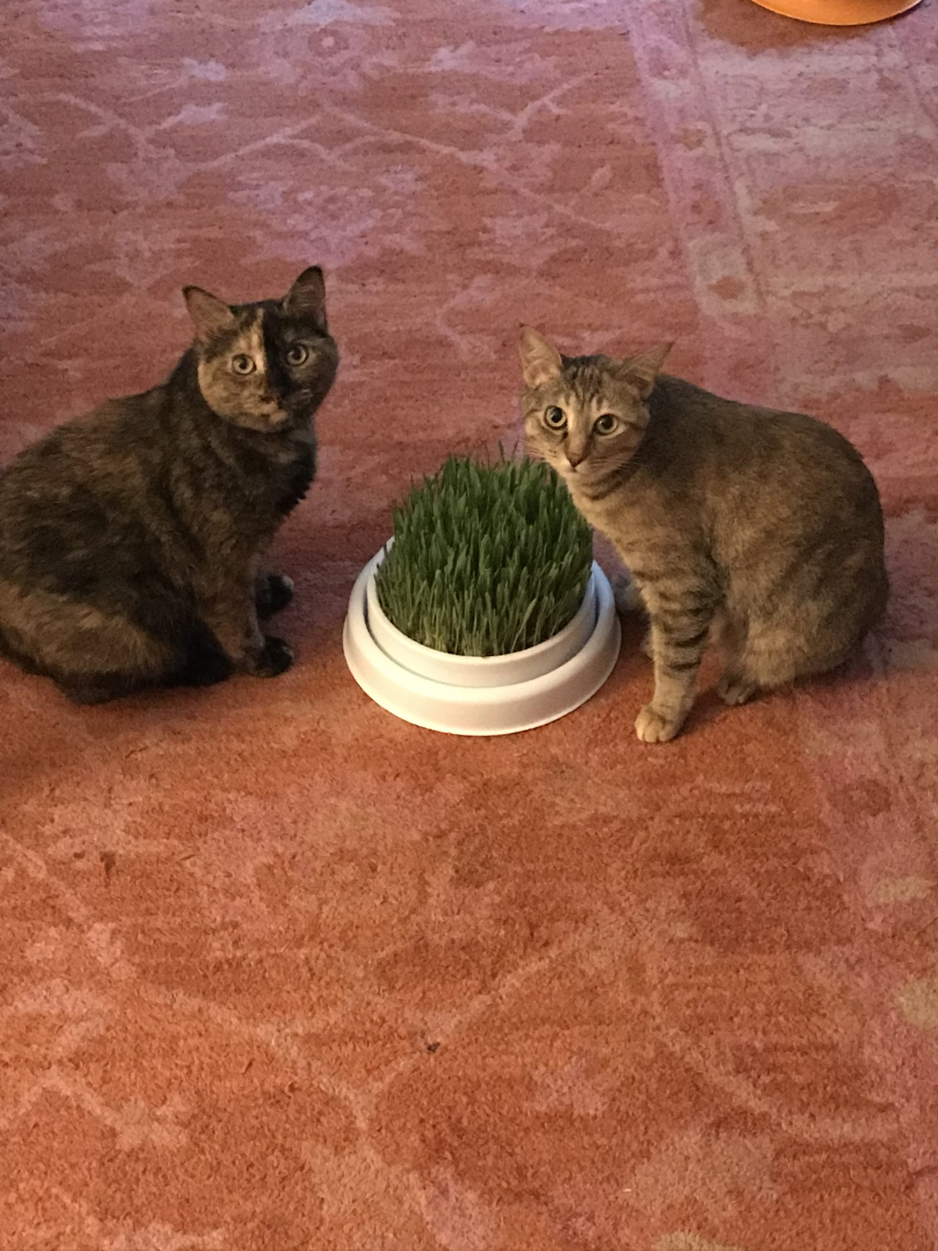 Sharing a plate of fresh cat grass together!