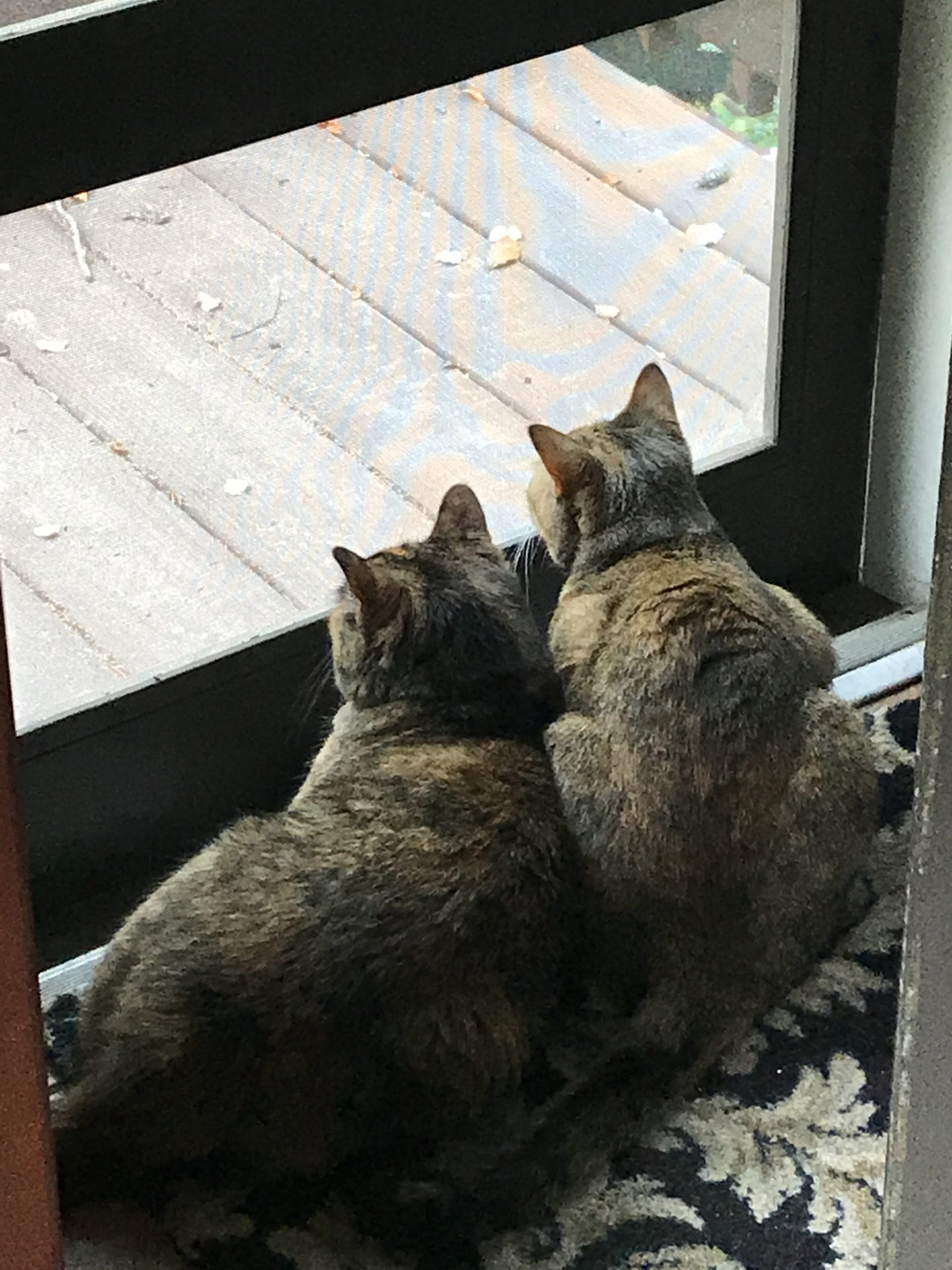 Due to outside cats & scent triggers these girls could not be near each other.