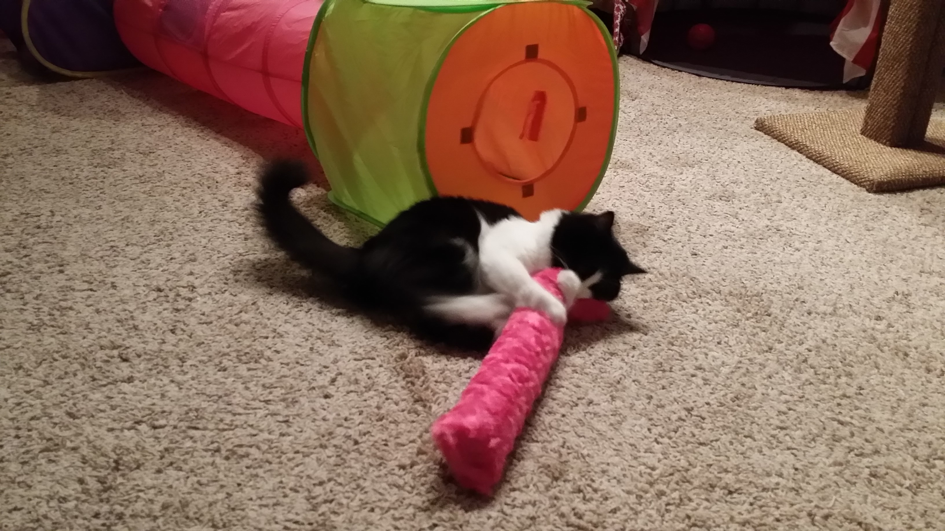 Sophie playing with catnip kick pillow.