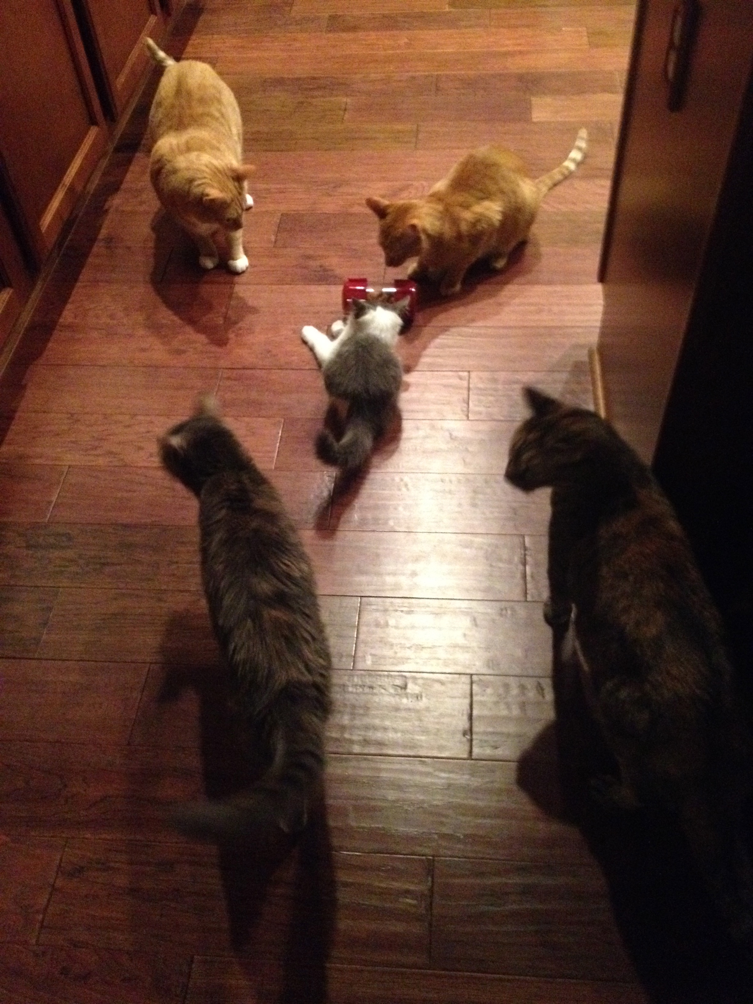 All 5 cats mingling over their new FF foraging toy.