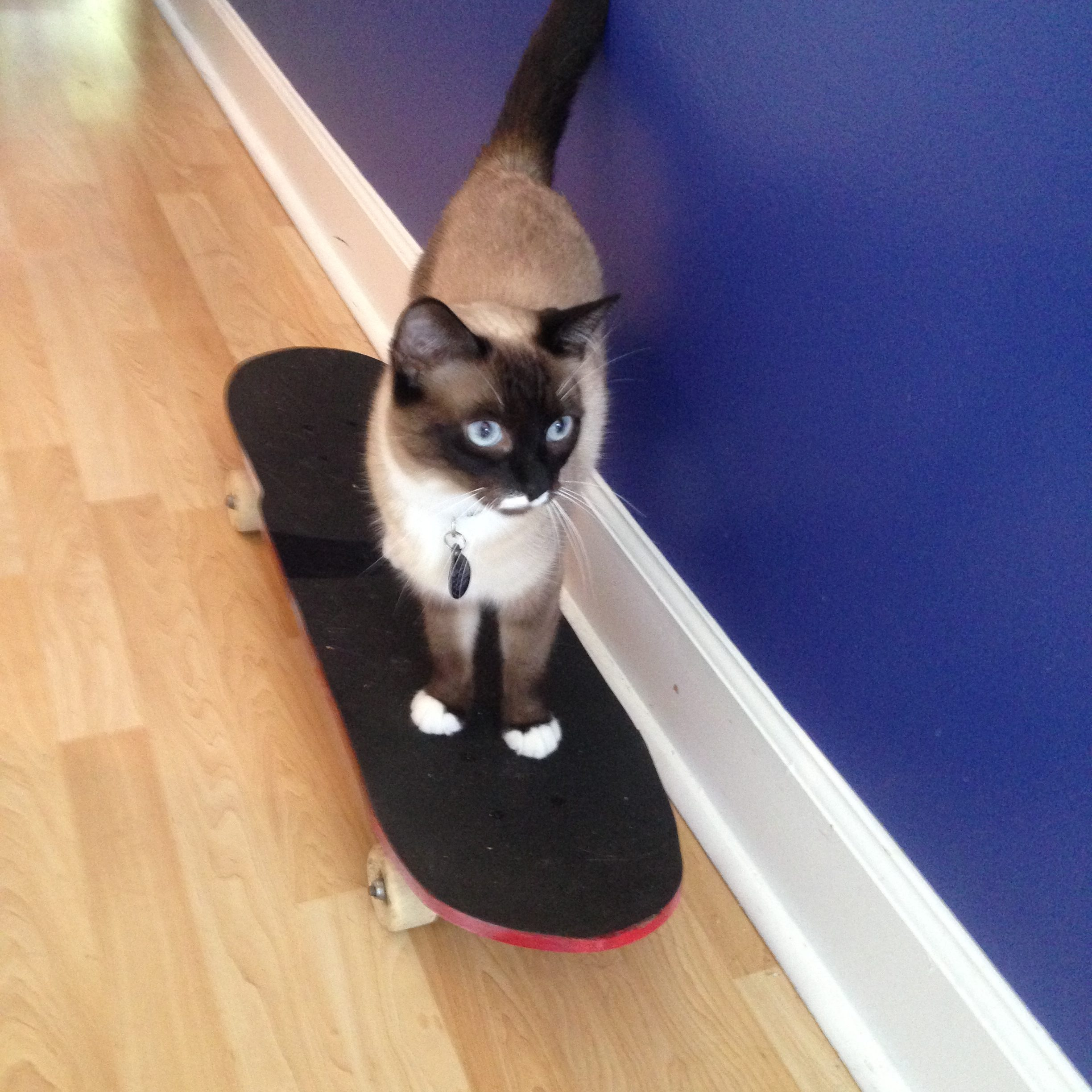 Willow cruisin' on her skateboard. Ingrid has taught many cats to skate!