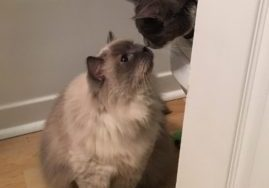 Two cats touching noses for the first time, a very high form of affection in cat speak!